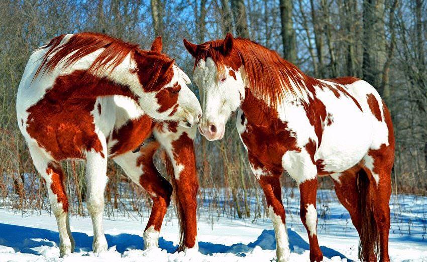 Top 10 des plus beaux chevaux de la planète!