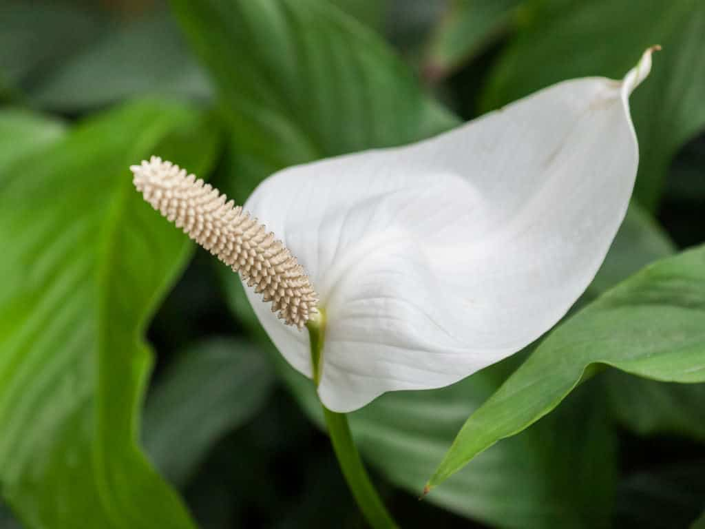 Spathiphyllum home: comment bien entretenir une plante