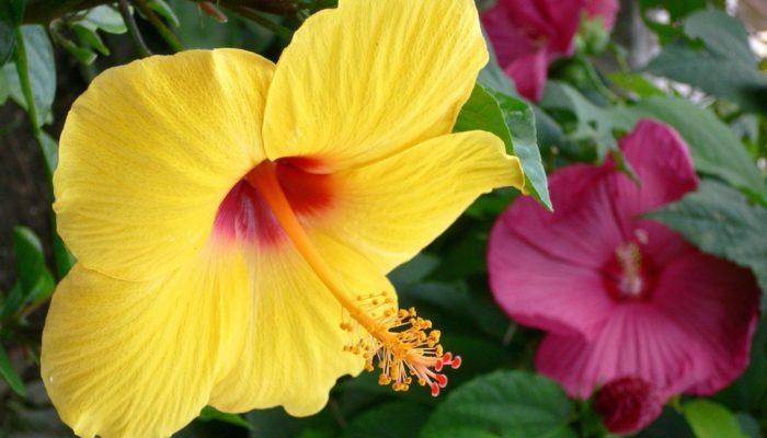 Comment soigner l'hibiscus à la maison